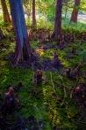 dried-cypress_sm