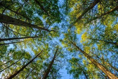 sunlight-through-the-pines-_sm