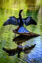 Black and Blue Bird on Stump Water