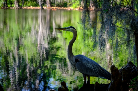 Heron on Water Edge_72